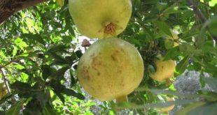 انار شیرین ایرانی